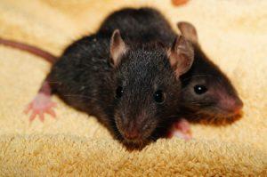 rat-baby